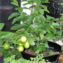 Nimboo, Lemon - Plant
