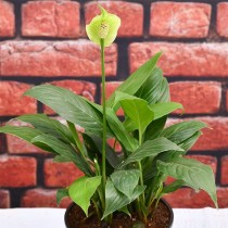 Peace Lily, Spathiphyllum - Plant