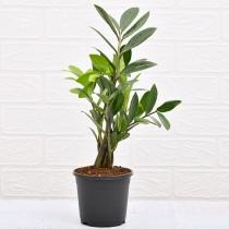 Zamiifolia Plant