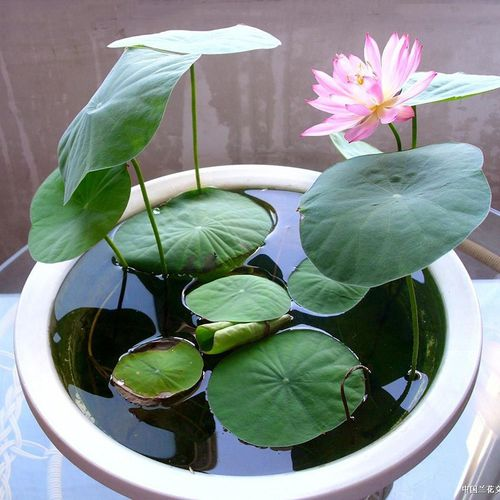 Lotus Flowers Seeds Online At Alkartycom