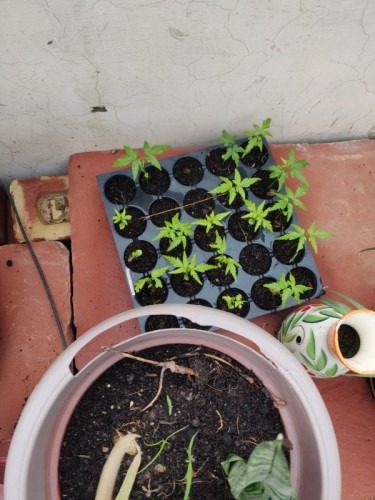 Growing neem from neem seeds